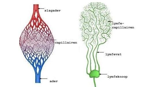 plaatje bloedvaatstelsel plus lymfe